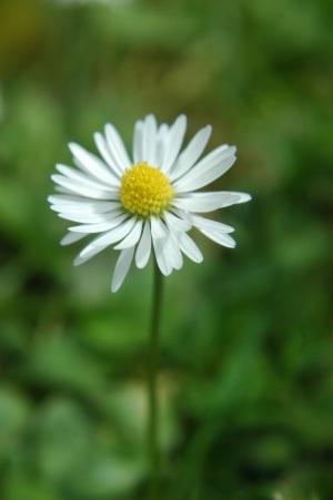 daisy image by jkingsbeer on sxc.hu
